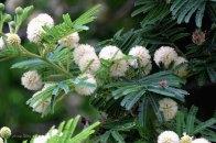 Acacia Tortillas - Copy
